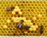 Пчелы на сотах.