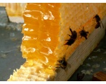 Пчелы на сотах