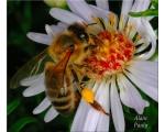 Фотография пчел